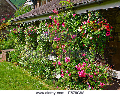 hanging baskets with rambling roses over the canopy in the tea rooms cafe in llanthony priory hotel Ewyas valley - Stock Photo