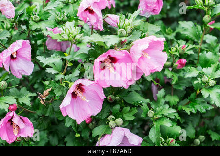 A closeup of pink flowers drenched with raindrops on a Rose of Sharon shrub, Althea, Hibiscus syriacus. Oklahoma, - Stock Photo