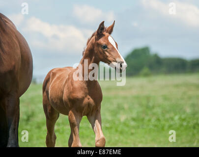 Hanoverian horse foal - Stock Photo