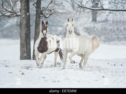 Appaloosa and Pinto horses run unbridled in snowy field - Stock Photo