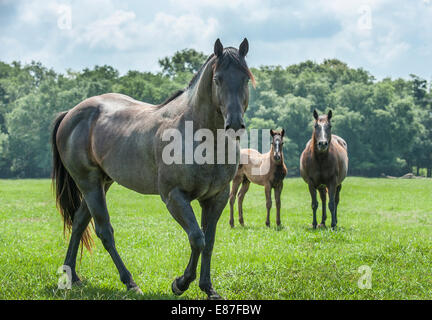 Quarter Horse stallion with mare and foal - Stock Photo