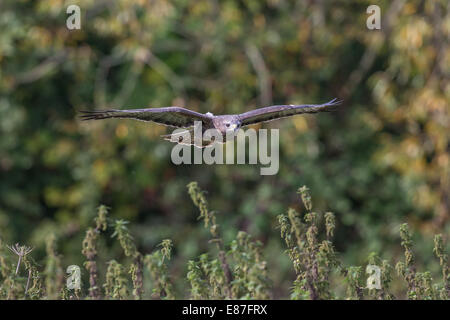 Common Buzzard (Buteo buteo) in flight over farmland - Stock Photo
