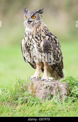 Eurasian Eagle Owl (Bubo bubo) perching on rock in a grass field - Stock Photo