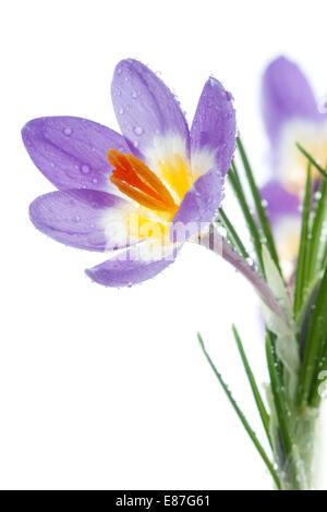 Flower Crocus Tricolor in the Iris family - Stock Photo