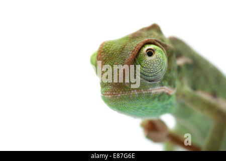Baby chameleon, focused on eyes - Stock Photo