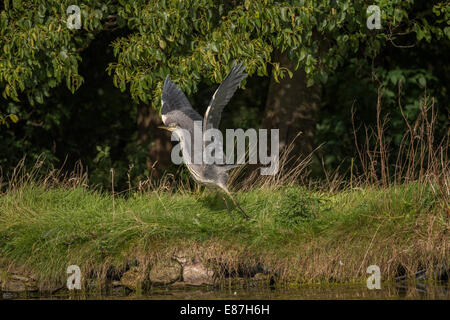 Grey Heron (Ardea cinerea) taking off from bank of pond - Stock Photo