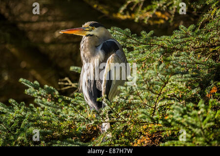 Grey Heron (Ardea cinerea) sitting in a tree - Stock Photo