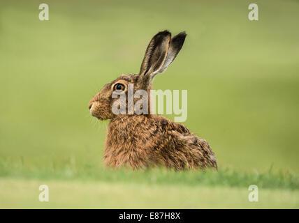 European Brown Hare, Lepus europaeus head close up - Stock Photo