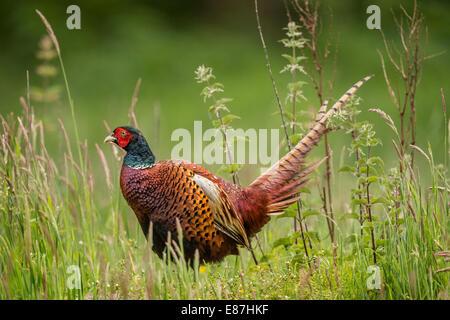 Common Pheasant (Phasianus colchicus) male in grass - Stock Photo