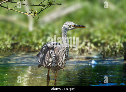 Grey Heron (Ardea cinerea) in pond - Stock Photo
