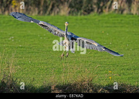 Grey Heron (Ardea cinerea) taking off - Stock Photo