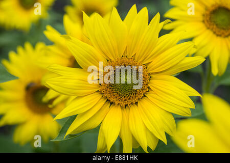 Sunflowers in bloom Eden Project garden Cornwall England UK August - Stock Photo