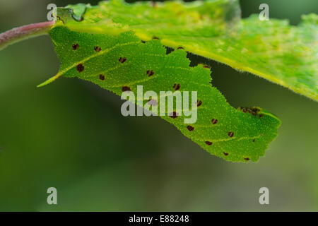 Poplar hawkmoth (Laothoe populi) larva resting under the leaf Llanymynech Wales UK Europe August - Stock Photo