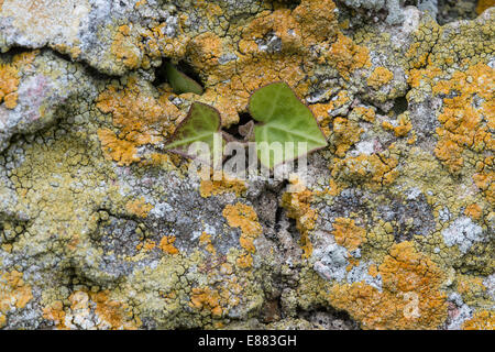 Xenthoria parietina lichen covering old building stone wall, new ivy growth Skomar Island Pembrokeshire Wales UK - Stock Photo