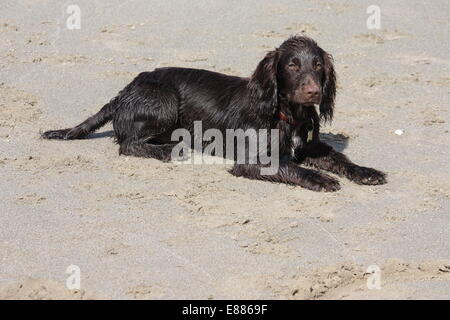 a brown working type cocker spaniel puppy lying on a sandy beach - Stock Photo