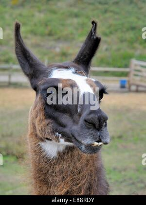 Lama portrait England uk - Stock Photo