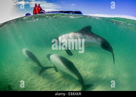 Adult Commerson's dolphin (Cephalorhynchus commersonii), above and below near Zodiac at Carcass Island, Falkland - Stock Photo