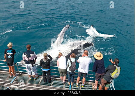Whale watchers viewing a Humpback whale (Megaptera novaeangliae) breaching, Hervey Bay, Queensland, Australia, Pacific - Stock Photo