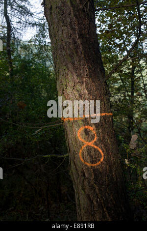 The number 8 has been sprayed in aerosol on to tree bark to identify their location in an English wood. - Stock Photo