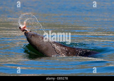 Brown (Cape) Fur Seal (Arctocephalus pusillus) bursting out of the water playing with a fish head - Stock Photo
