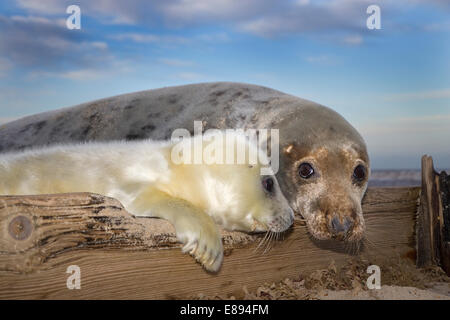 Grey Seal - Halichoerus grypus - Stock Photo