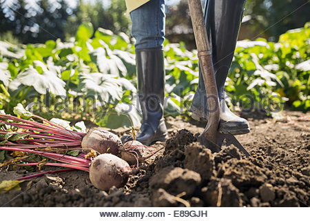 Woman harvesting rutabaga in vegetable garden - Stock Photo