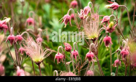 Prairie Smoke flowers, Geum triflorum is a spring perennial herbaceous plant - Stock Photo