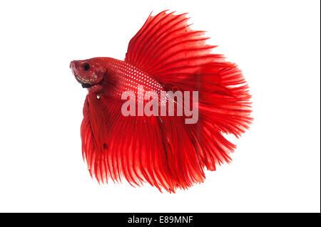 Red halfmoon betta fighting fish - Stock Photo