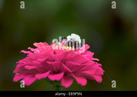 Close up of a bumble bee sitting on a pink flower with green background - Stock Photo
