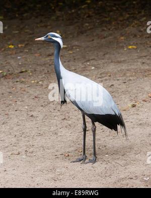 Adult demoiselle Crane in it's natural habitat - Stock Photo
