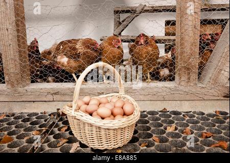 Basket with eggs at henhouse on organic farm - Stock Photo