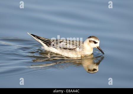 Grey Phalarope Phalaropus Fulicarius - Stock Photo