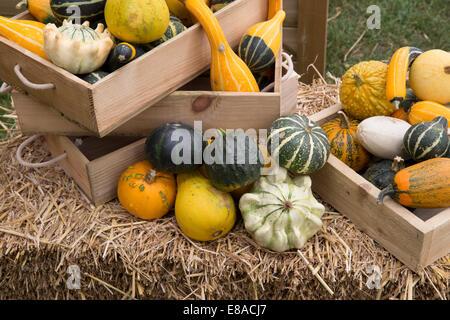 Malvern Autumn RHS show 2014 various gourds, pumpkins and squash - Stock Photo