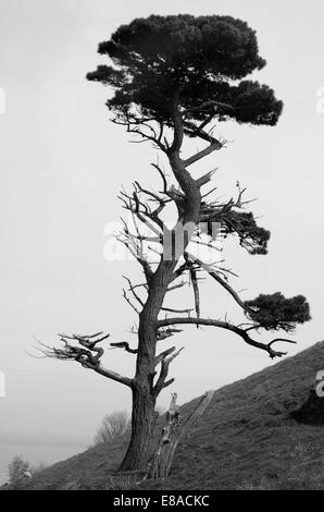 A solitary, damaged pine tree overlooks Start Bay in South Devon. England 2008. - Stock Photo