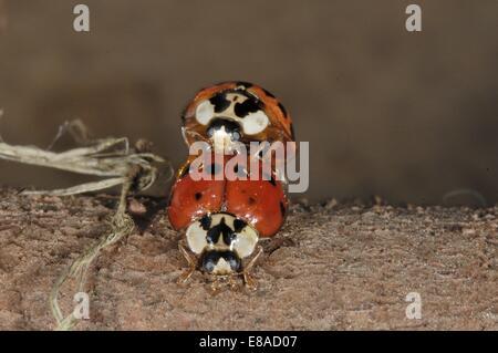 Asiatic Ladybird - Harlequin Ladybird - Multicolored Asian Lady Beetle (Harmonia axyridis) pair mating - Stock Photo