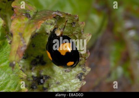 Asiatic Ladybird - Harlequin Ladybird - Multicolored Asian Lady Beetle (Harmonia axyridis) eating aphids - Stock Photo