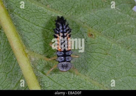 Asiatic Ladybird - Harlequin Ladybird - Multicolored Asian Lady Beetle (Harmonia axyridis) larva on leaf - Stock Photo