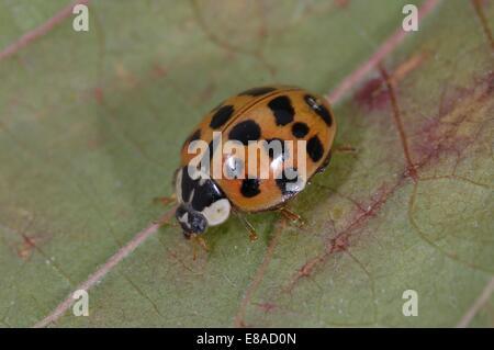 Asiatic Ladybird - Harlequin Ladybird - Multicolored Asian Lady Beetle (Harmonia axyridis) imago on leaf - Stock Photo