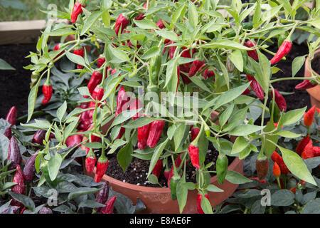 Malvern Autumn RHS show 2014 chilli plant 'Apache' - Stock Photo