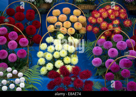 Malvern Autumn RHS show 2014 display of prize winning dahlia flowers - Stock Photo