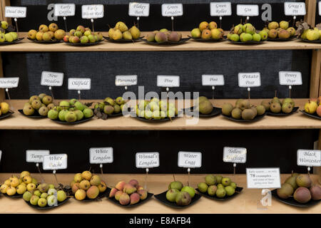 Malvern Autumn RHS show 2014 display of Perry pears - Stock Photo