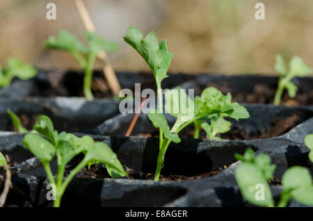 Dwarf blue curled vates Kale, Brassica oleracea, plantlets in black tray. - Stock Photo