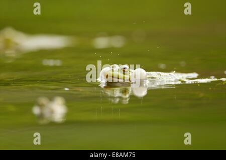 Mating frog in water - Stock Photo