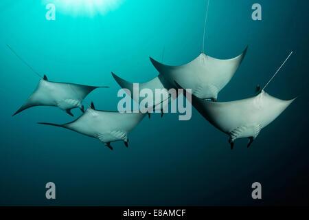 Manta rays underwater - Stock Photo