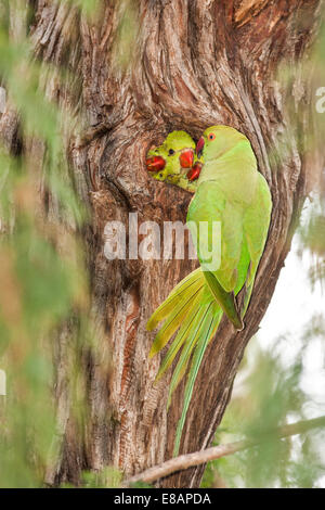 Wild Rose-ringed Parakeet (Psittacula krameri), Israel - Stock Photo