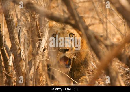 Male lion (Panthera leo) hiding in bush, Mana Pools National Park, Zimbabwe - Stock Photo