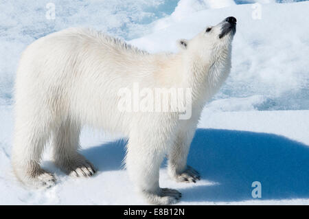 Young adult tagged Polar Bear, Ursus maritimus, looking for scent in the air Bjornsundet, Svalbard Archipelago, - Stock Photo