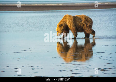 Adult Grizzly Bear, Ursus arctos, walking on the tidal flats of the Cook Inlet, Alaska, USA - Stock Photo