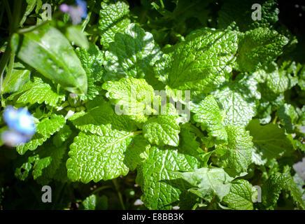 Lemon Balm (Melissa officinalis) - Stock Photo