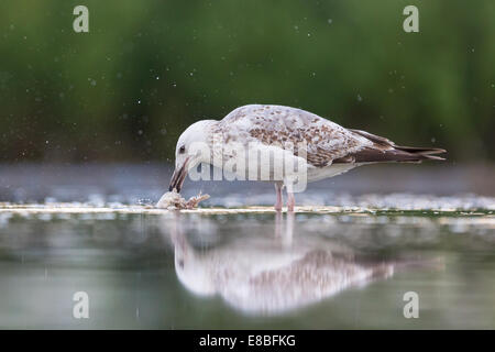 Sub-adult Yellow-legged Gull (Larus michahellis) cleaning a fish carcass in shallow water - Stock Photo